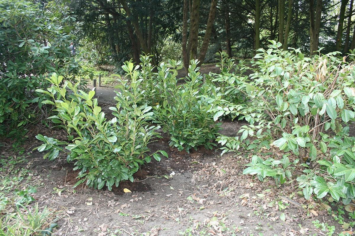 Neupflanzung-Kirschlorbeer-2