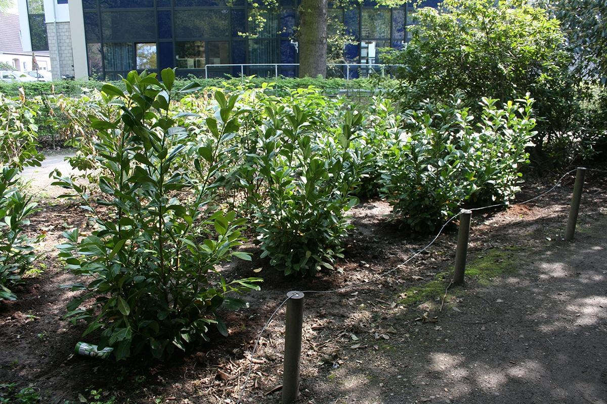 Neupflanzung-Kirschlorbeer
