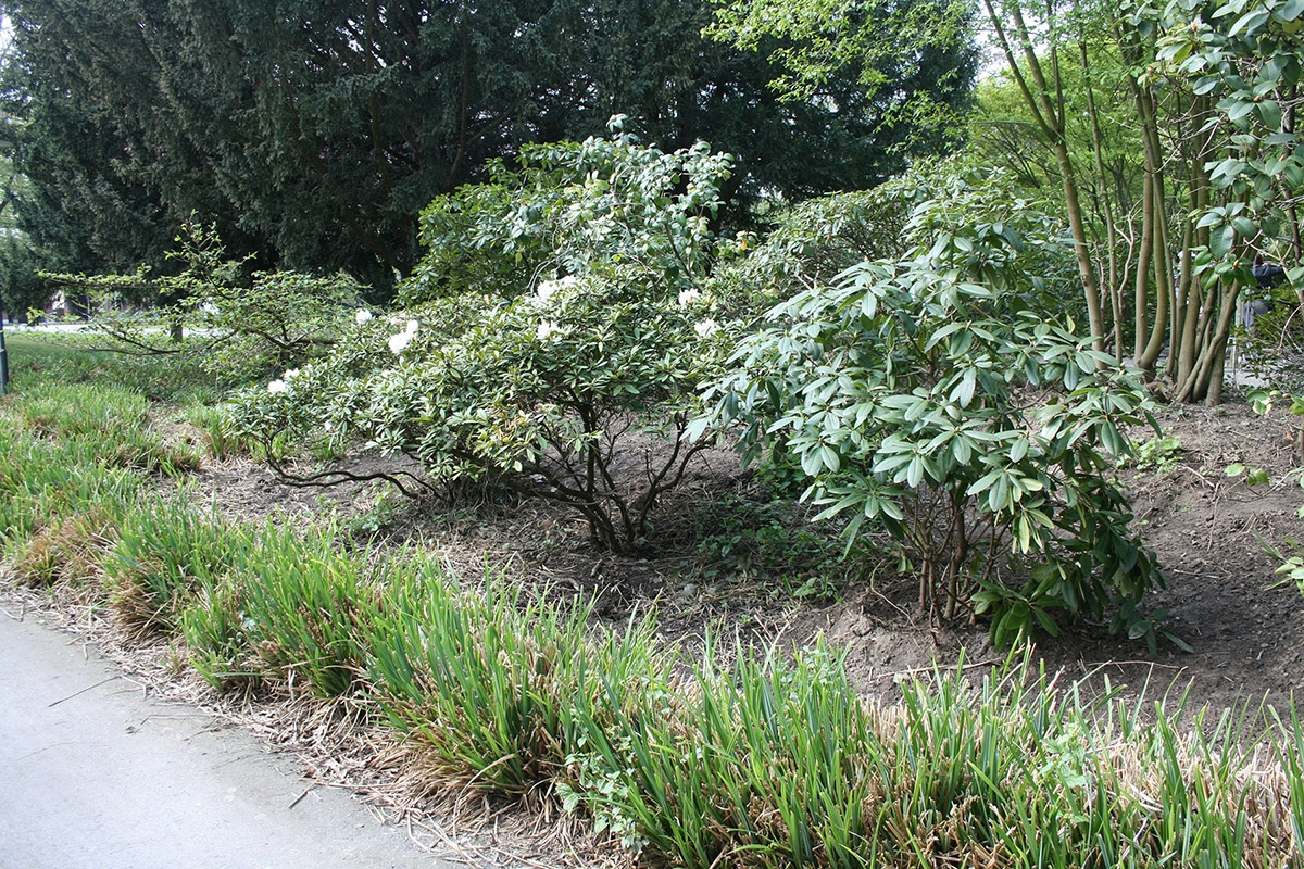 Umpflanzung-Rhododendren
